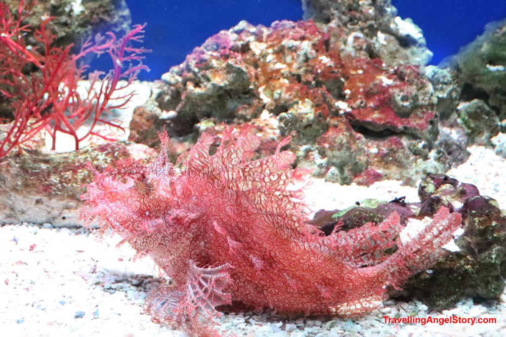 Lacy Scorpionfish